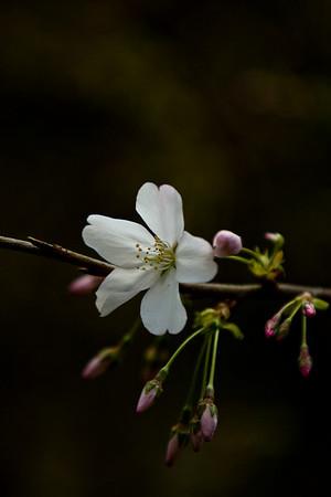 Prunus x yedoensis / Yoshino Cherry