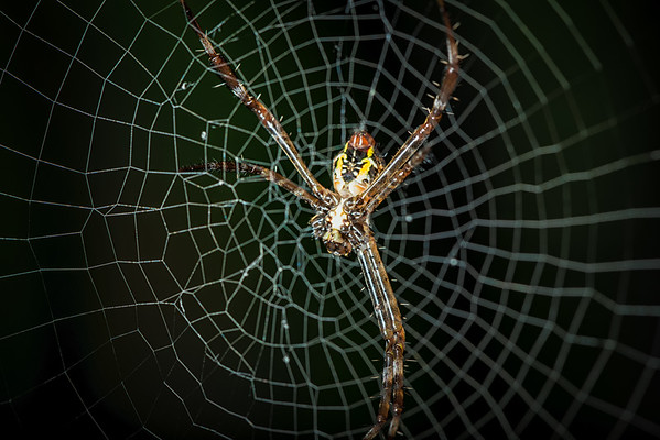 Six Legged Garden Spider