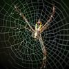 Six Legged Garden Spider