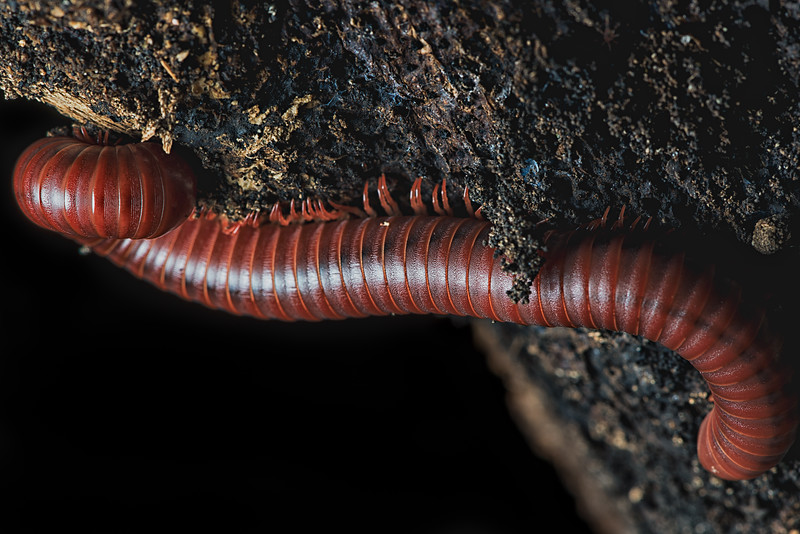 Millipede on a Tree
