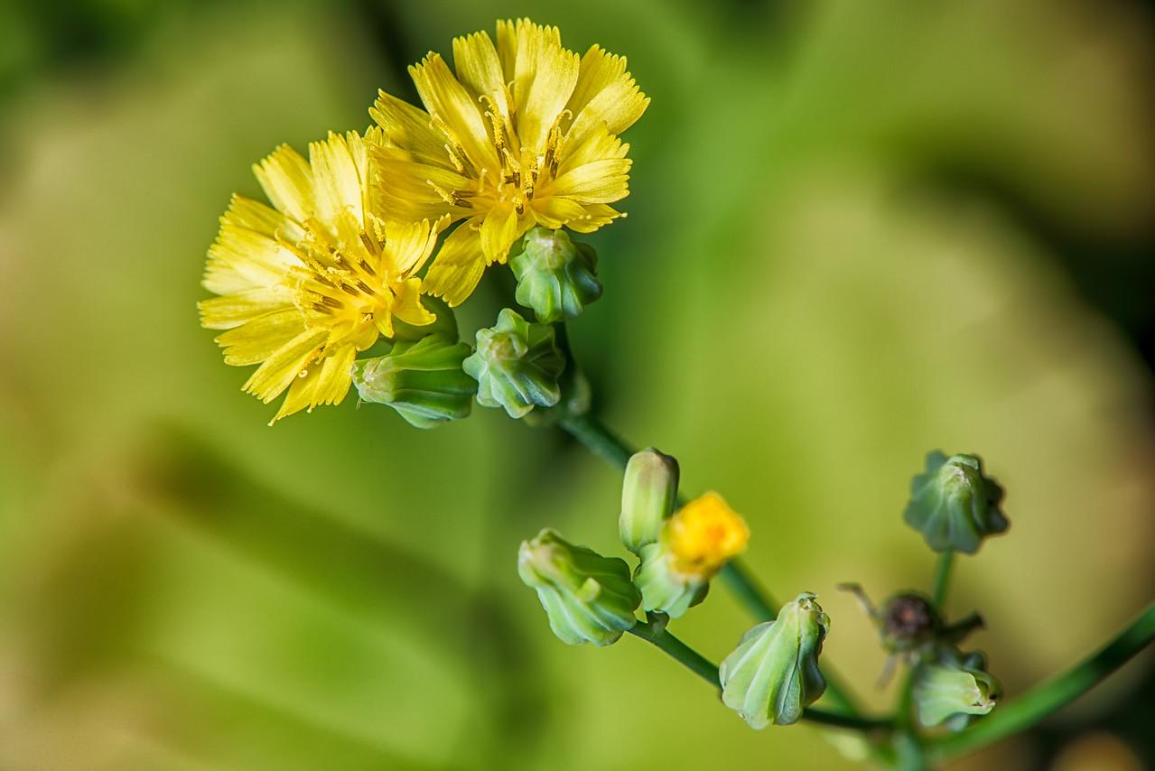 Blooming Weed Flowers