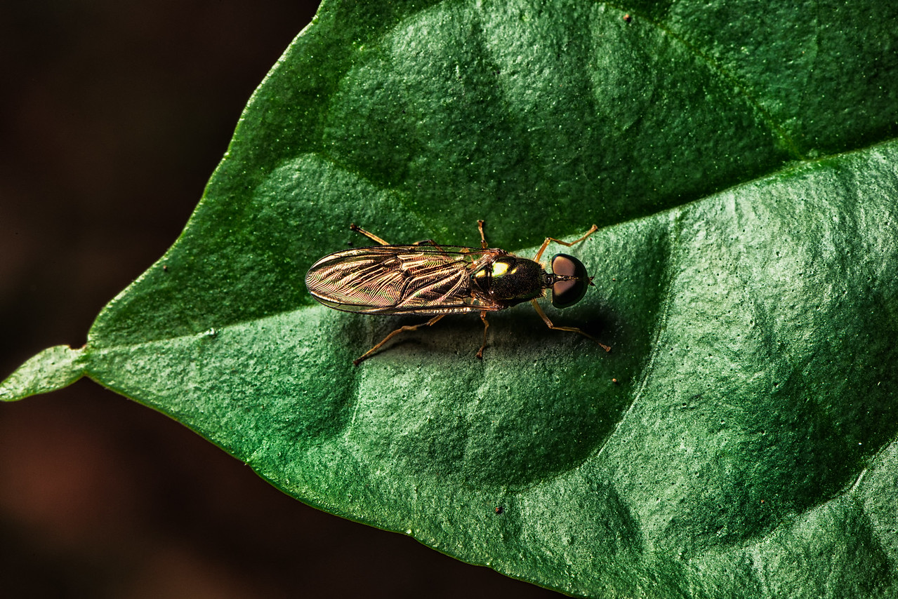 An Unknown Fly