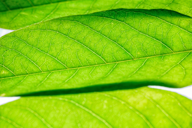 Veiny Leaf