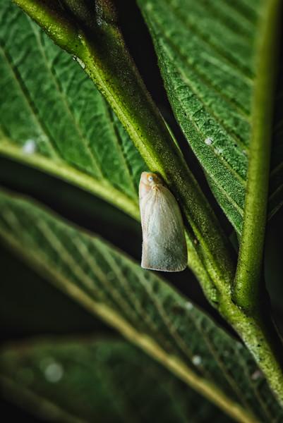 Tiny Pale Moth