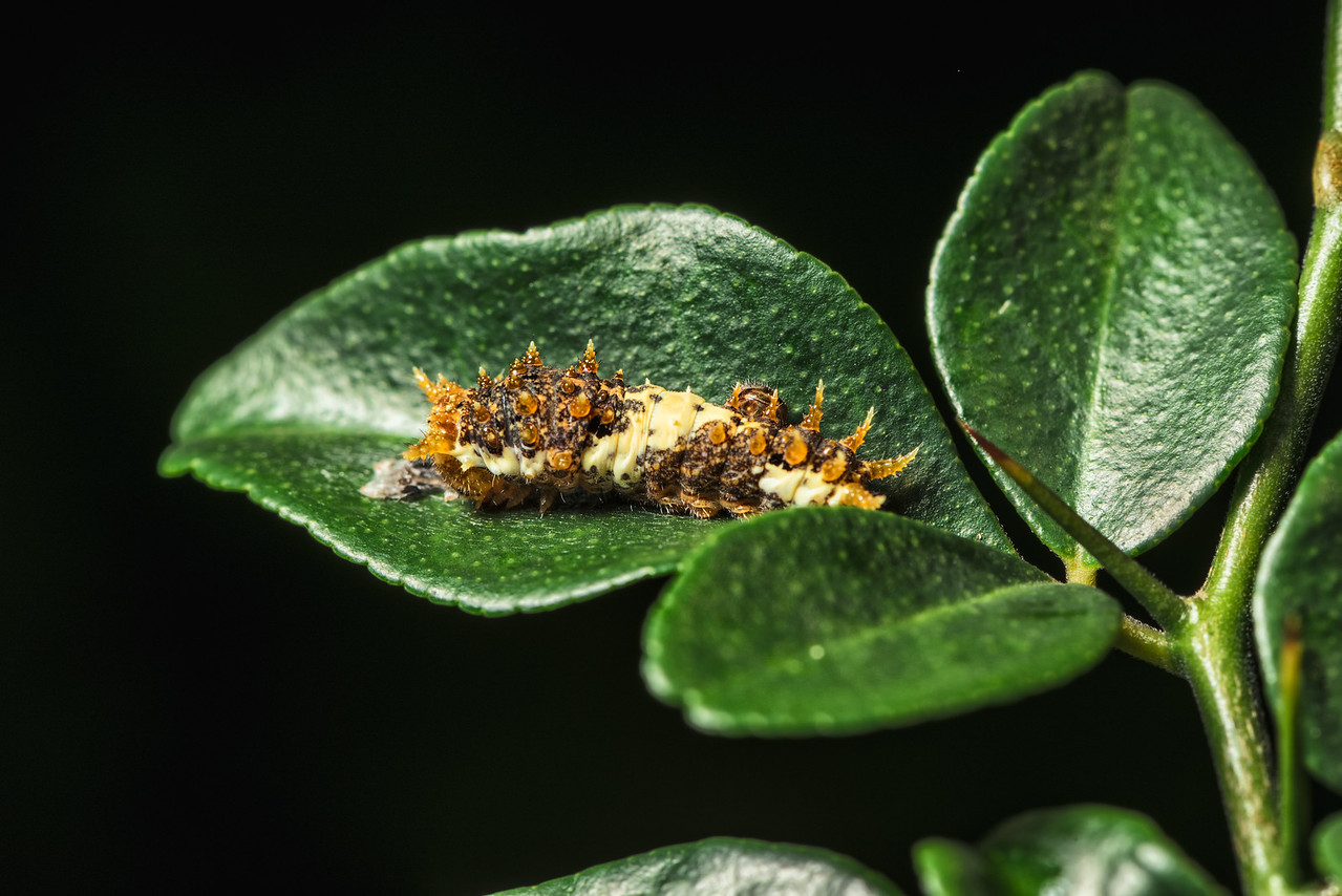 Caterpillar on a Lime Plant