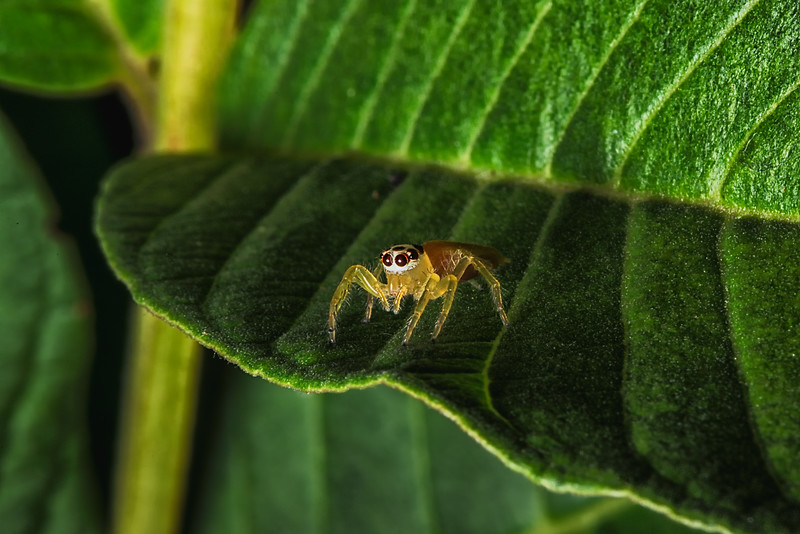 Jumping Spider on a Guava Leaf