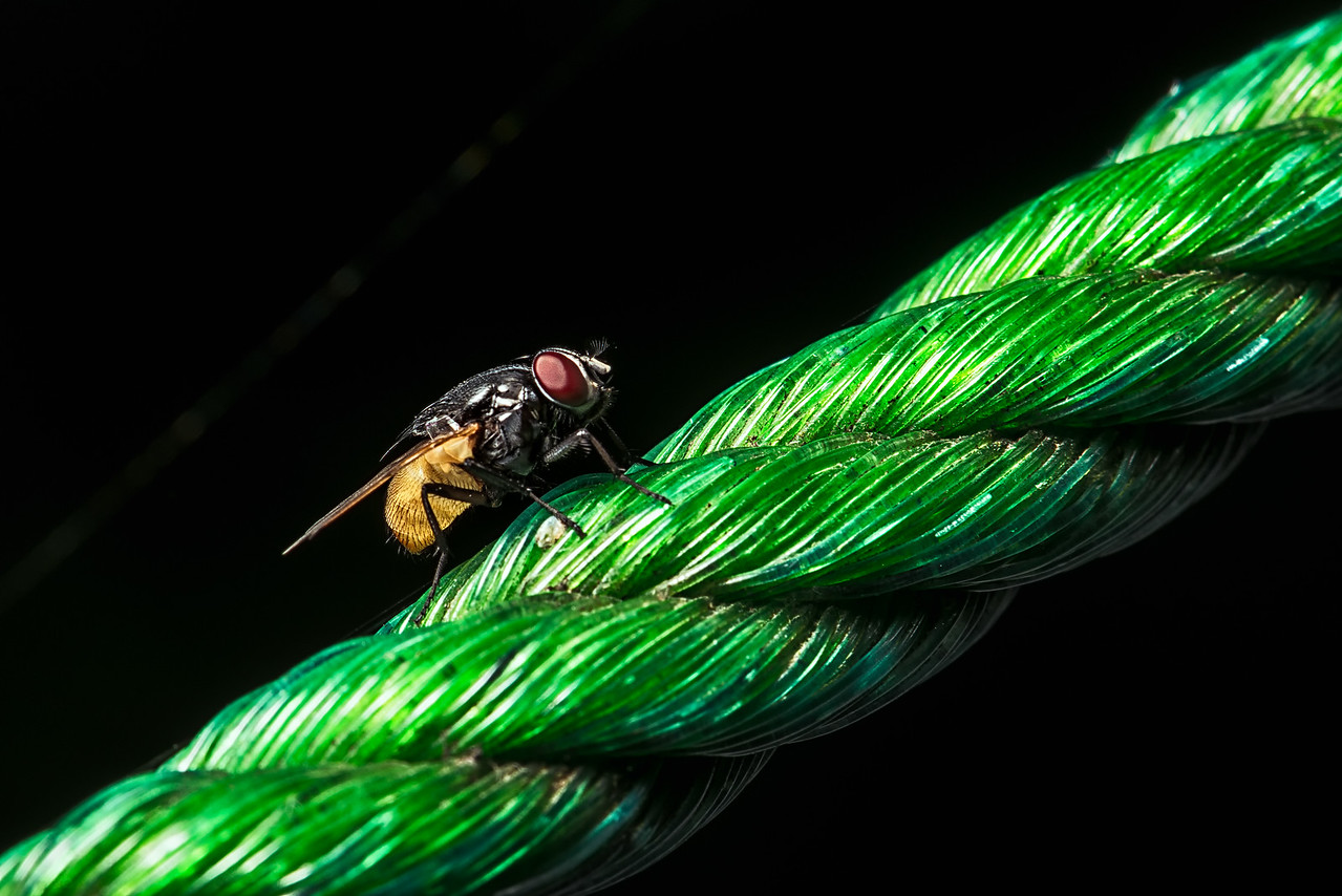 Regular Housefly Up Close