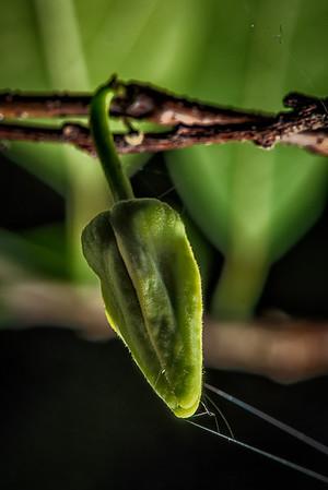 Young Sugar-Apple Fruit