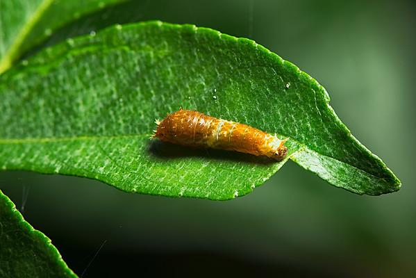 Young Caterpillar