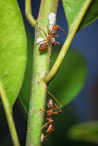 Farmer Weaver Ants