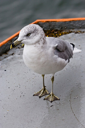 Hitchhiker<br /> <br /> This seagull seemed to be tired of flying and decided to take the Staten Island Ferry back to Manhatten. Staten Island Ferry.