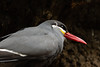 The Inca Tern's call is like a cat's mew. IUCN: NT.