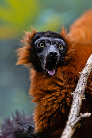 The Red-ruffed Lemur spends a lot of its time grooming itself and each other. The lower incisors grow in line with each and with slight spacing, creating a toothcomb which is used to groom its fur. IUCN: EN.