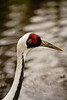 The White-naped Crane breeds in Mongolia and northeastern China, wintering as far south as Taiwan. About 5000 remain in the wild. IUCN: VU.