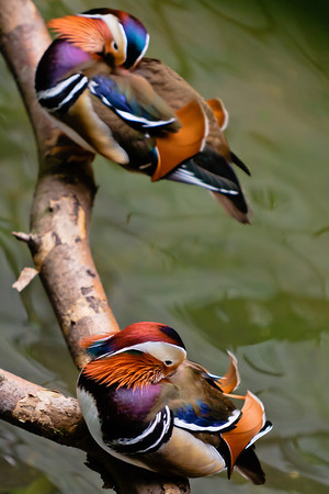 Unlike other duck species, Mandarin drakes reunite with the hens they mated with along with their hatched offsprings to share parental duty. In Chinese culture, they symbolize conjugal affection and fidelity. IUCN: LC.