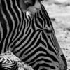 Grevvy's Zebra