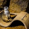 Meerkat chaise longue