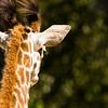 Masai Giraffe (Giraffa camelopardalis tippelskirchi). IUCN: NT.