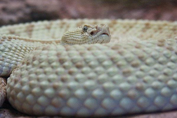 Neotropical Rattlesnake (Crotelus durissus).