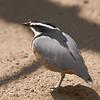 Egyptian Plover (Pluvianus aegyptius). IUCN: LC.