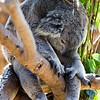 Koala (Phascolarctos cinereus). IUCN: LC.