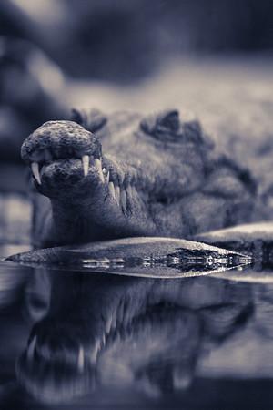 Slender-snouted Crocodile (Crocodylus cataphractus). IUCN: Unknown.