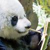 Giant Panda (Ailuropoda melanoleuca). IUCN: EN.