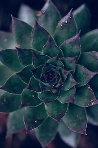 Cactus - Birds Eye