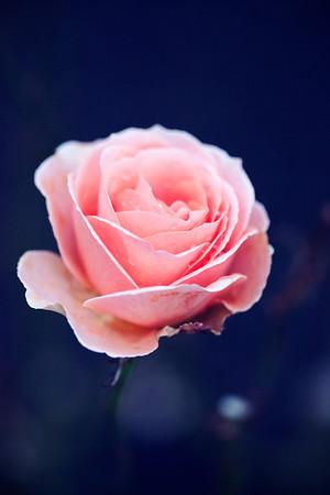 Pink Rose (Wellington Botanical Gardens)