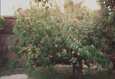 Here is the peach tree in summer.
