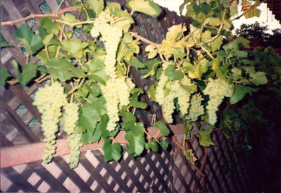 We also had grapes along the back fence!