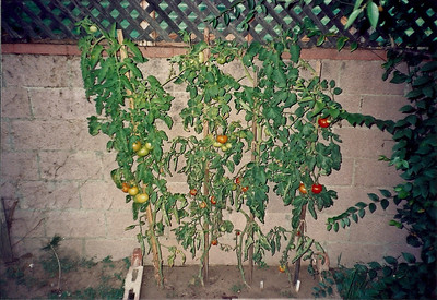 Tomato's were looking good until the raccoons came!