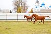 Running red horses