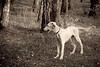 Standing saluki puppy