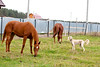 Two red horses and dog