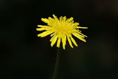 """Picris hieracioides - """"Hawkweed Picris"""" ."""