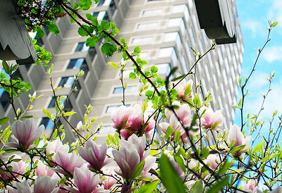 Magnolias, Post Office Square - Boston, MA.
