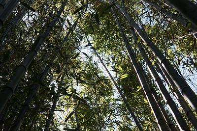 Towering Bamboo, Blithewold Arboretum - Bristol RI.