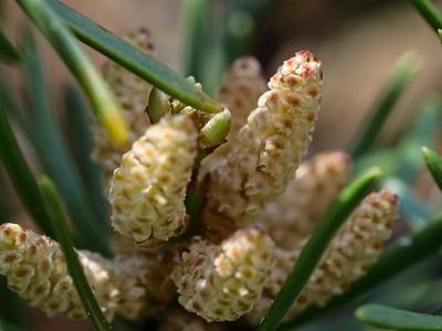 """""""Pollen cone"""", Dwarf Pine."""