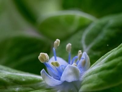 Blue Hydrangea bud.