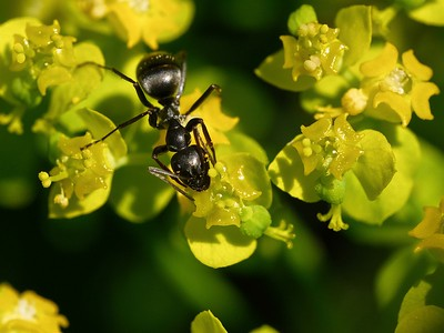 An ant on Euphorbia polychroma - Cushion Spurge.