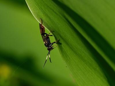 Ichneumom wasp - Vulgichneumon brevicinctor.