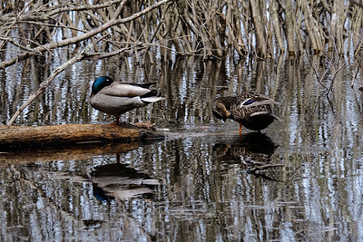 Male and female Mallard (Anas platyrhynchos).