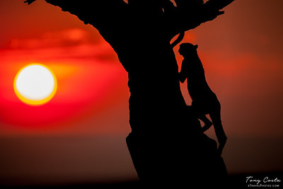 Cheetah climbing a tree at Sunset