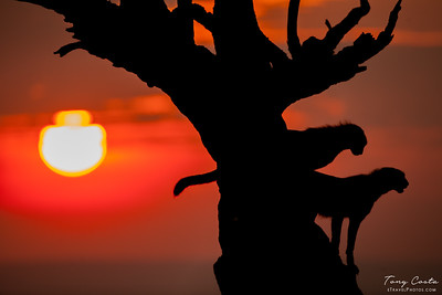 Cheetahs in a Tree at Sunset
