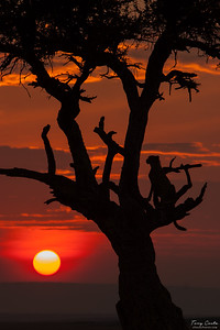 Cheetah in a Tree at Sunset