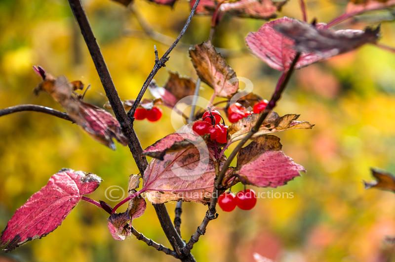 Fall Cranberries