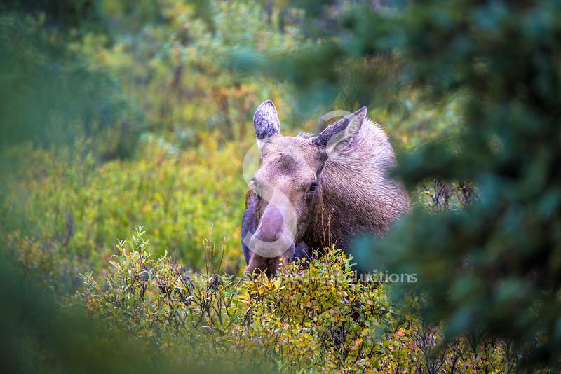 Moose Creeper