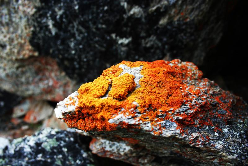 Fiery Lichen