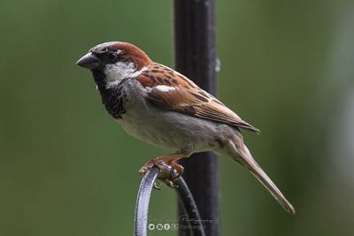 15 - House Sparrow